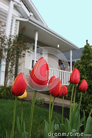 Suburban Tulips