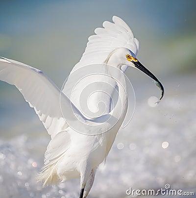 Free Successful Fishing White Egret Stock Image - 68863641