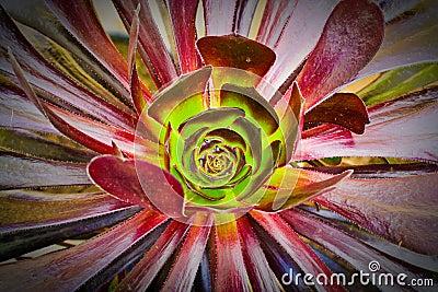 Succulent aeonium
