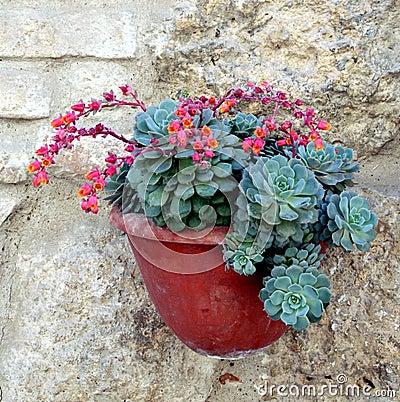 Free Succulent Echeveria Pulidonis Stock Photos - 12615003