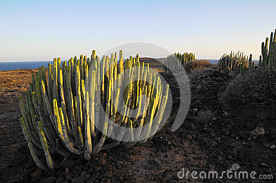 Succulent Plant Cactus on the Dry