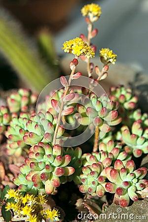 Succulent  Sedum rubrotinctum