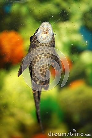 Sucker_(fish)