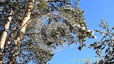 Sucursal de abeto en los bosques de invierno que se desarrollan en el viento almacen de metraje de vídeo