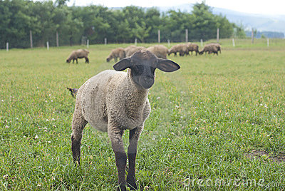 Suffolk baby sheep