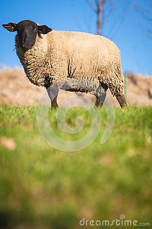 Free Suffolk Black-faced Sheep Grazing On A Meadow Royalty Free Stock Photography - 25110197