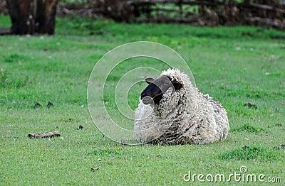 A Suffolk sheep alone in paddock