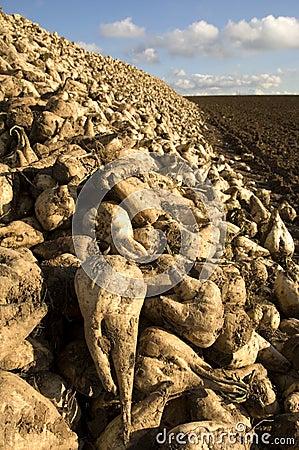 Free Sugar Beet Heap Stock Image - 1610841