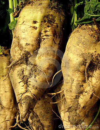 Free Sugar Beets Stock Photos - 1443303