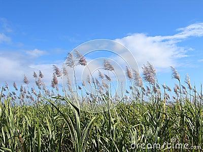 Sugar Cane Field #1