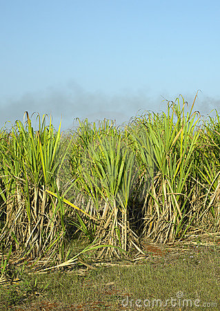 Free Sugar Cane Field Royalty Free Stock Photos - 11661298