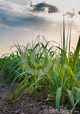 Free Sugar Cane Field Stock Images - 78924904