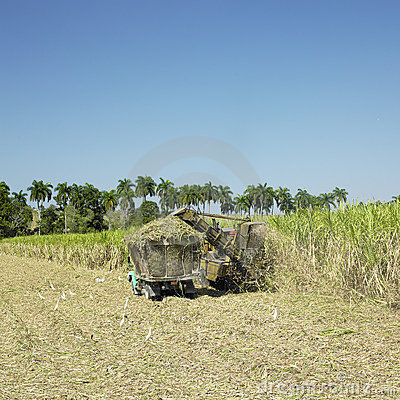 Free Sugar Cane Harvest Stock Images - 17019024