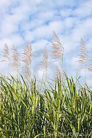 Free Sugar Cane In Bloom Stock Images - 14501574