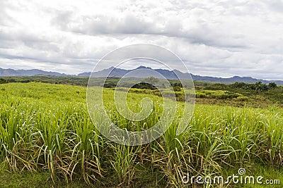Sugar cane plantation on Cuba