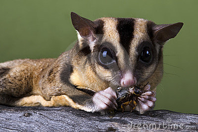 Sugar glider eating a cricket