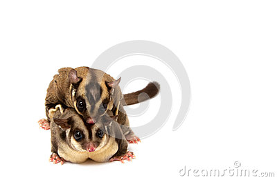 Sugar glider in love