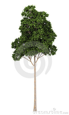 Sugar Gum tree isolated on white