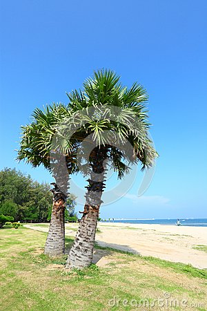 Sugar palm on the beach with blue sky backgrou