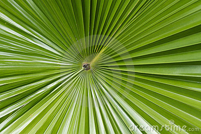 Sugar palm leaf