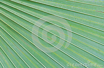Sugar palm leaves