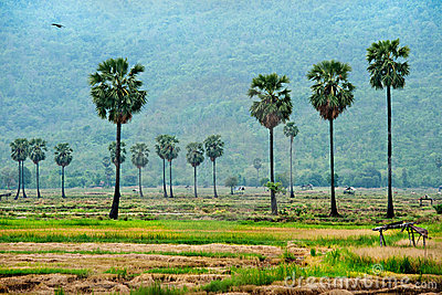 Sugar Palm  In Rice Field Royalty Free Stock Photography - Image: 19839187