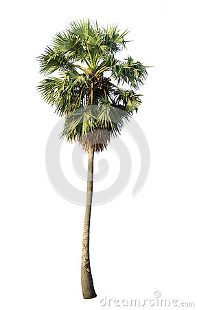 Free Sugar Palm (toddy Palm) Stock Photo - 31019610