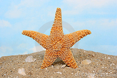 Sugar starfish standing upright on beach