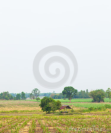 Free Sugarcane. Stock Photo - 31244520