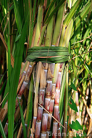 Free Sugarcane Bunch Royalty Free Stock Photos - 6571248