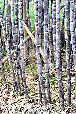 Sugarcane cultivate