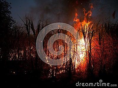 Sugarcane field on fire