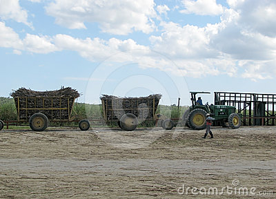 Sugarcane mechanical harvest Editorial Photo