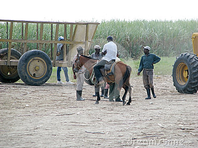 Sugarcane plantation Editorial Stock Photo