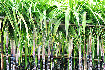 Sugarcane stalks steady with bamboo pole