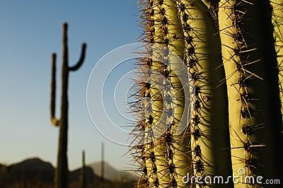Suguaro Cacti