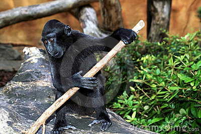 μαύρο sulawesi macaque
