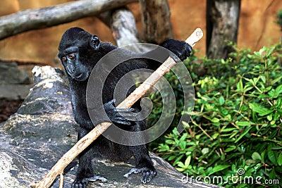 Sulawesi oder schwarzer Macaque