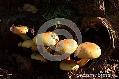 Sulfur tuft mushroom