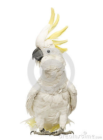 Free Sulphur-crested Cockatoo, Cacatua Galerita, 30 Years Old, With Crest Up Royalty Free Stock Photo - 29489975