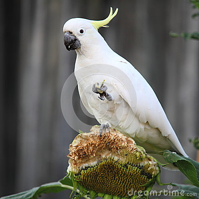 Sulphur-crested Cockatoo on sunflower