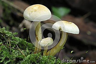 SulphurTuftsvampar