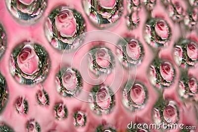 Sumário da rosa da cor-de-rosa