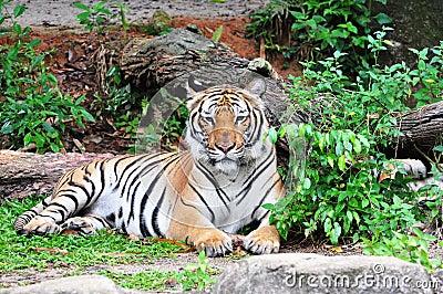 Sumatra tiger (Panthera Tigris Sumatraensis)