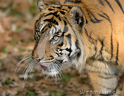 Sumatran老虎
