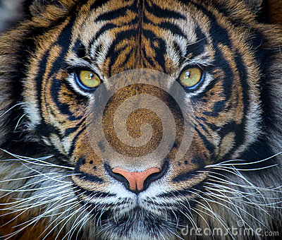 Sumatran tiger Editorial Stock Photo