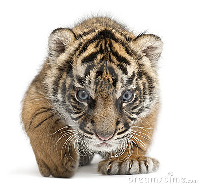 Free Sumatran Tiger Cub, Panthera Tigris Sumatrae Royalty Free Stock Photography - 17000947