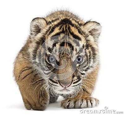 Sumatran Tiger cub, Panthera tigris sumatrae