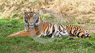 Sumatran Tiger Lying in the Grass
