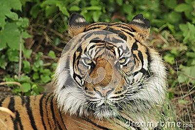 Sumatran tiger (Panthera tigris sumatrae)